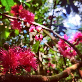 The kavika tree in flower near Nubutautau. #talanoatreks #hikefiji #HighlandEscape #nubutautau #hiddenfiji